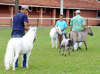 Miniature horse — Miniature Horses are found all over the world and ...