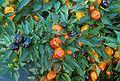 Miniature bell peppers.jpg