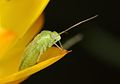 Mirid bug nymph (30751128845).jpg