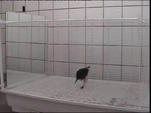 Datei:Mirror-Induced-Behavior-in-the-Magpie-(Pica-pica)-Evidence-of-Self-Recognition-pbio.0060202.sv008.ogv
