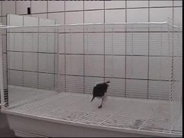 Bestand:Mirror-Induced-Behavior-in-the-Magpie-(Pica-pica)-Evidence-of-Self-Recognition-pbio.0060202.sv008.ogv