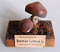 Modell von Boletus luteus (Suillus luteus, Butterröhrling, Butterpilz).jpg