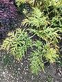 Molopospermum peleponnesiacum foliage.jpg