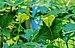 Momordica charantia flower 28042014 (2).jpg