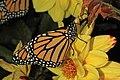 Monarch - Danaus plexippus, Herndon, Virginia (36340077873).jpg