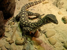Monitor lizard in sydney 1.jpg