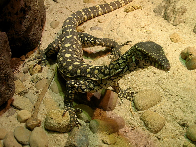 [Image: 800px-Monitor_lizard_in_sydney_1.jpg]