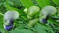 Monk's-Hood (Aconitum napellus) - Thunder Bay, Ontario 02.jpg