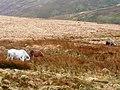 Moorland grazing - geograph.org.uk - 704314.jpg
