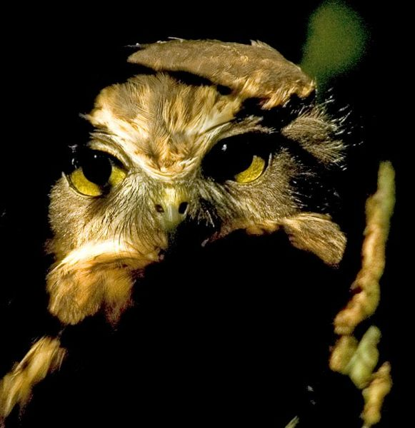 f3daa2d89cb Ninox is a genus of true owls comprising about 30 species found in Asia and  Australasia. Many species are known as hawk owls or boobooks.