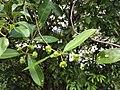Morinda parvifolia 19451240.jpg