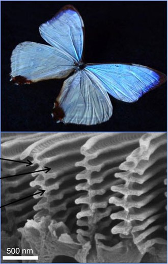 Morpho - Iridescent colors of Morpho butterflies are caused by the specific nanostructures on their wings (SEM image at the bottom).