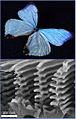 Morpho sulkowskyi wings.jpg