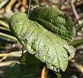 Morus nigra Kampong Sweet 3zz.jpg