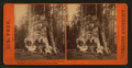 Mother of the Forest, Circumference 78 feet bark off. Mammoth Trees of Calaveras Co., California, by Pond, C. L. (Charles L.) 2.png