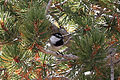 Mountain Chickadee May Lake Yosemite 2.jpg