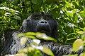 Mountain gorilla (Gorilla beringei beringei) 14.jpg