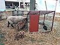 Mouton, chèvre (Capra aegagrus hircus) et lapin (Leporidae).jpg