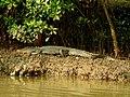 Mugger Crocodile Crocodylus palustris Zuari Goa by Dr. Raju Kasambe DSCN0812 (9).jpg