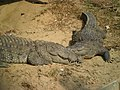 Mugger crocodile in Chittagong Zoo (02).JPG
