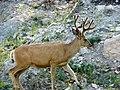 Mule deer (7866684534).jpg
