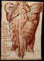 Muscles and tendons of the back; écorché figure. Red chalk a Wellcome V0008254.jpg