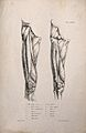 Muscles of the upper leg; two figures. Lithograph by Martell Wellcome V0008188EL.jpg