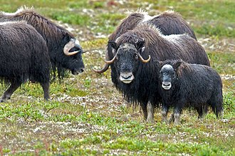 Bering Land Bridge National Preserve - Muskox family