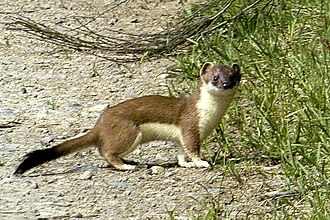Stoats in New Zealand - A stoat in its natural range (in this case the Ardennes in Belgium).
