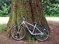 My bike against a giant sequoia (3636411880).jpg