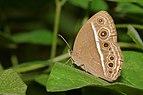 Mycalesis mineus-Kadavoor-2016-07-09-001.jpg