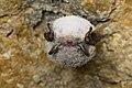 Myotis daubentonii 3.jpg