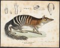 Myrmecobius fasciatus - 1700-1880 - Print - Iconographia Zoologica - Special Collections University of Amsterdam - UBA01 IZ20300168.tif