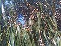 Myrtales - Eucalyptus dalrympleana 3.jpg