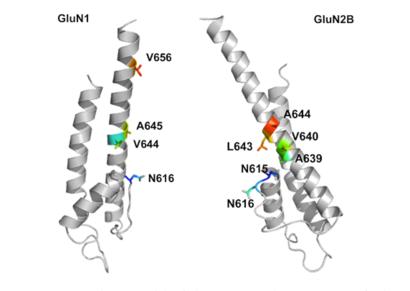NR1-NR2B subunit.png