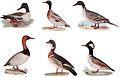 NSRW Duck - ducks.jpg