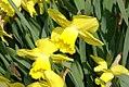 Narcissus Century 0zz.jpg