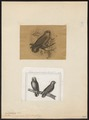 Nasiterna pygmaea - 1700-1880 - Print - Iconographia Zoologica - Special Collections University of Amsterdam - UBA01 IZ18600159.tif