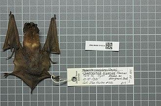 Nigerian free-tailed bat - Image: Naturalis Biodiversity Center ZMA.MAM.19183.b dor Chaerephon nigeriae skin
