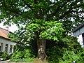 Naturdenkmal OS 00136 Eiche Neuenkirchen Melle Datei 7.jpg