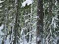 Nature - Snowy forest (Cerise Creek 06, Marty) (119655533).jpg