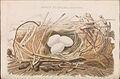 Nederlandsche vogelen (KB) - Platalea leucorodia (172b).jpg