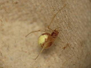 <i>Neottiura bimaculata</i> species of arachnid