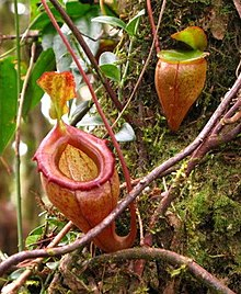 Nepenthes flava11 cropped.jpg