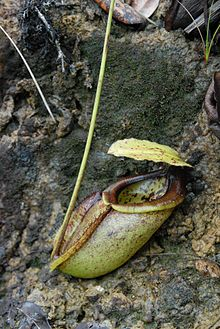 Nepenthes paniculata lower pitcher.jpg