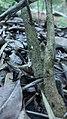 Nerium oleander 05.jpg