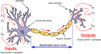 Biological neuron model - Neuron and myelinated axon, with signal flow from inputs at dendrites to outputs at axon terminals