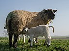 Newborn sheep on Dutch sea dike.jpg