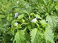 NicandraPhysalodes-plant-sm.jpg
