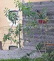 Nicotiana glauca p1010102.jpg